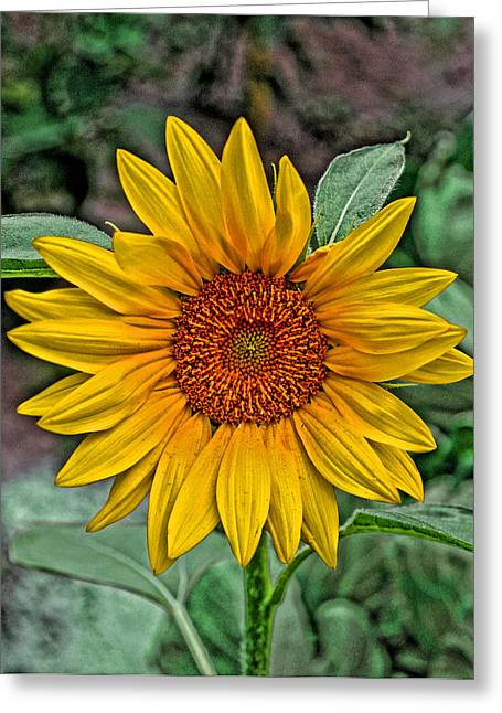 Greeting Card featuring the photograph Sun Flower by David Armstrong