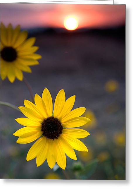 Sun Flower II Greeting Card by Peter Tellone