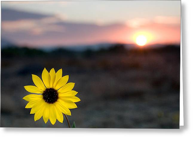 Sun Flower IIi Greeting Card by Peter Tellone