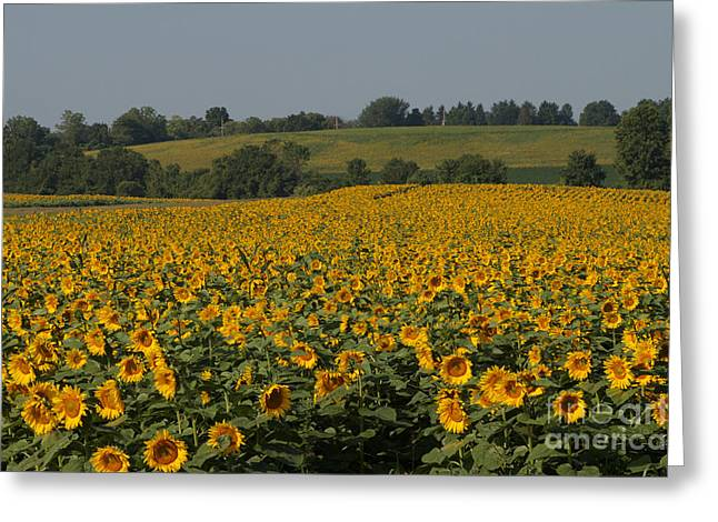 Sun Flower Sea Greeting Card