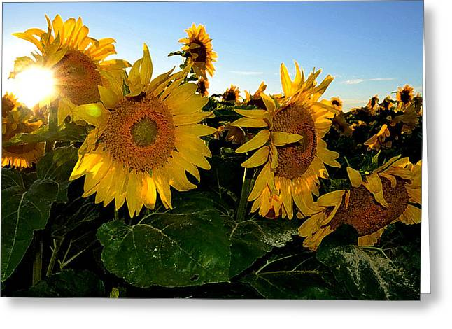 Sun Flowers And Pollen Wcae2  Greeting Card by Lyle Crump