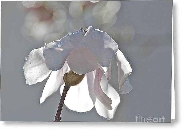 Sun Kissed Magnolia Greeting Card by Amy Fearn