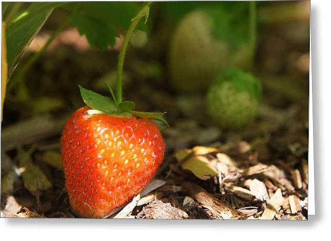 Sun Kissed Strawberry Greeting Card by Kristine Bogdanovich