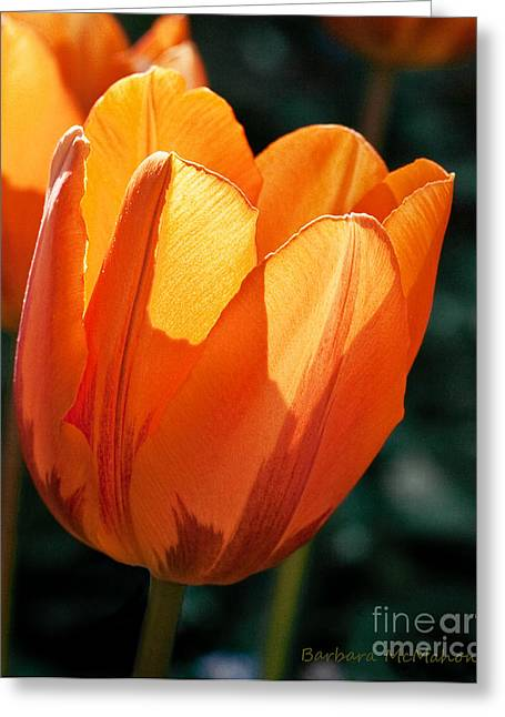 Greeting Card featuring the photograph Sun Kissed Tulip by Barbara McMahon