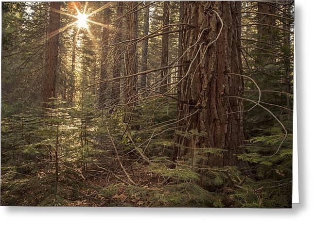 Sun Rays Through Forest Depths Greeting Card by Sheri Van Wert
