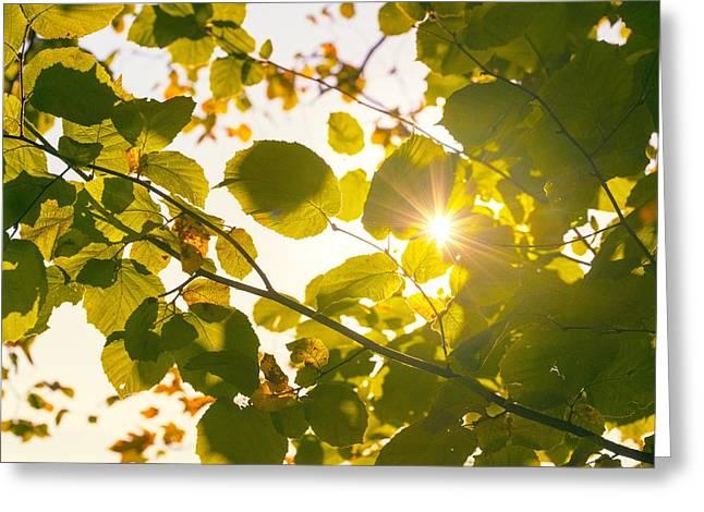 Sun Shining Through Leaves Greeting Card by Chevy Fleet