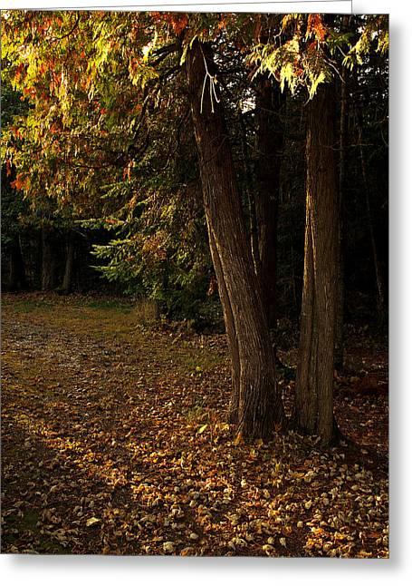 Sun Struck Cedars Greeting Card by Stan Wojtaszek
