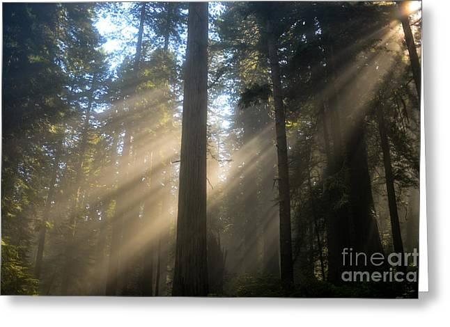 Sun Through The Redwoods Greeting Card