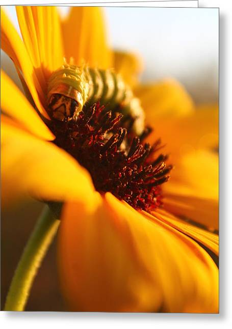 Sunbathing Caterpillar Greeting Card by Alicia Knust