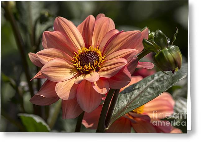 Sunbathing Dahlia Greeting Card
