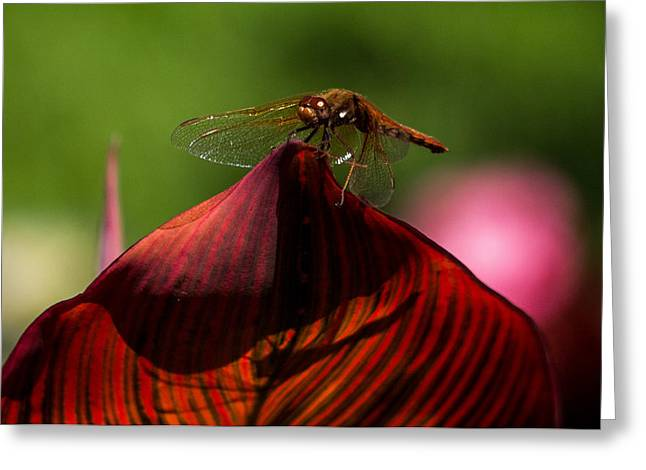 Sunbathing Dragonfly Greeting Card by Jordan Blackstone