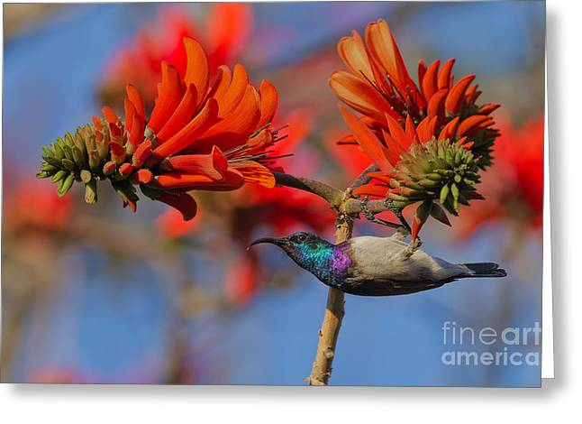 Sunbird On Coral Greeting Card by Ashley Vincent