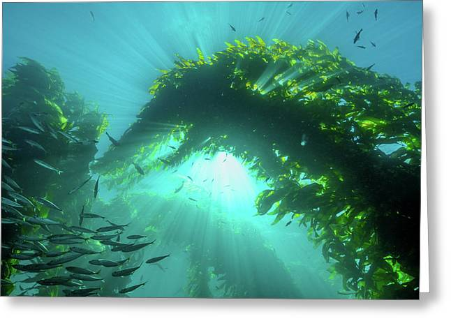 Sunburst Through Giant Kelp Greeting Card by Brent Barnes