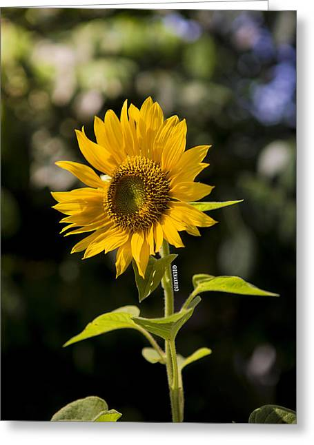 Sunday Sunflower Greeting Card by Benazio Putra