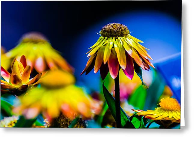 Sundaze Flame Strawflower Greeting Card by Alan Marlowe