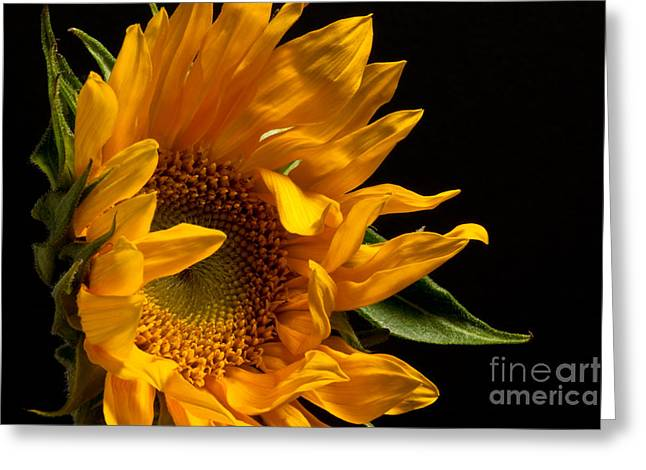 Sunflower 2010 Greeting Card