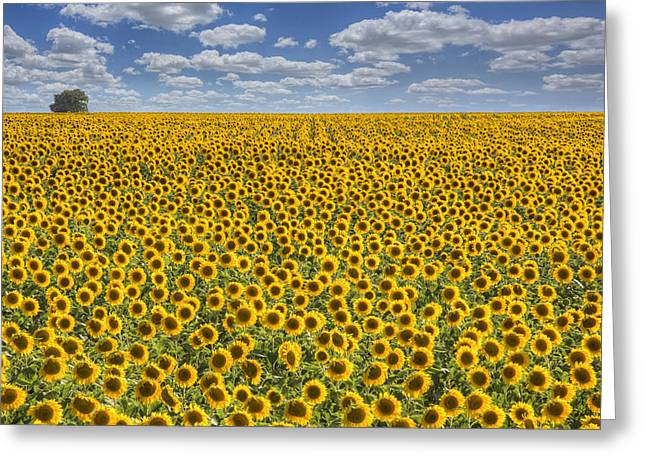 Sunflower Afternoon - Texas Wildflower Images - Happiness Greeting Card by Rob Greebon