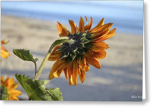 Greeting Card featuring the photograph Sunflower by Alex King