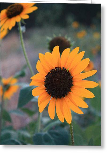 Sunflower Greeting Card by Alicia Knust