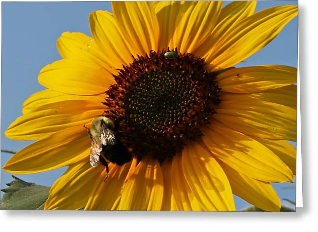 Sunflower And Bee Greeting Card by Victoria Sheldon