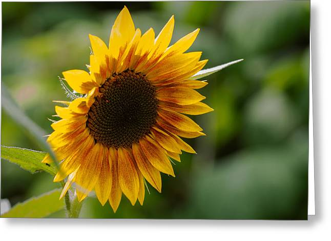 Sunflower Greeting Card by Andreas Levi