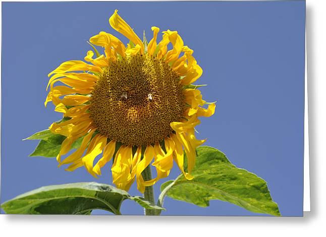 Sunflower At Latrun Greeting Card
