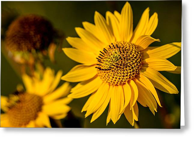 Sunflower At Sunset Greeting Card by Eric Bott
