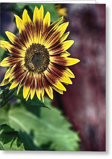 Sunflower At The Barn Greeting Card