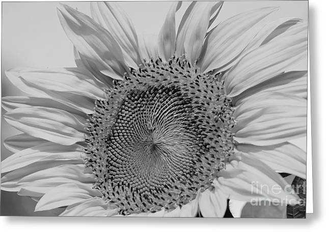 Sunflower Black And White Greeting Card by Wilma  Birdwell