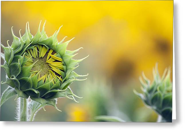 Sunflower Bloom Greeting Card