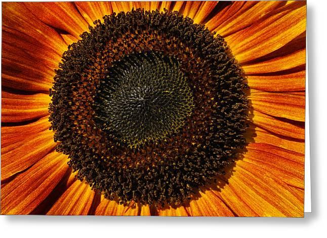 Sunflower Bloom Greeting Card by Luke Moore