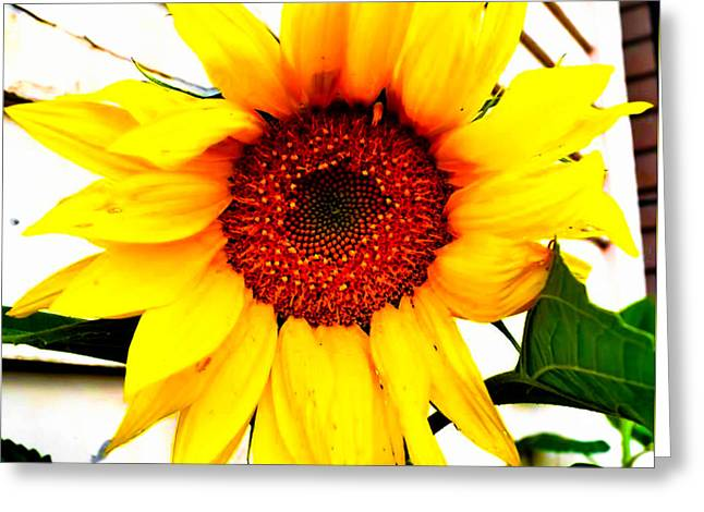Sunflower Blossom  Greeting Card by Naomi Burgess