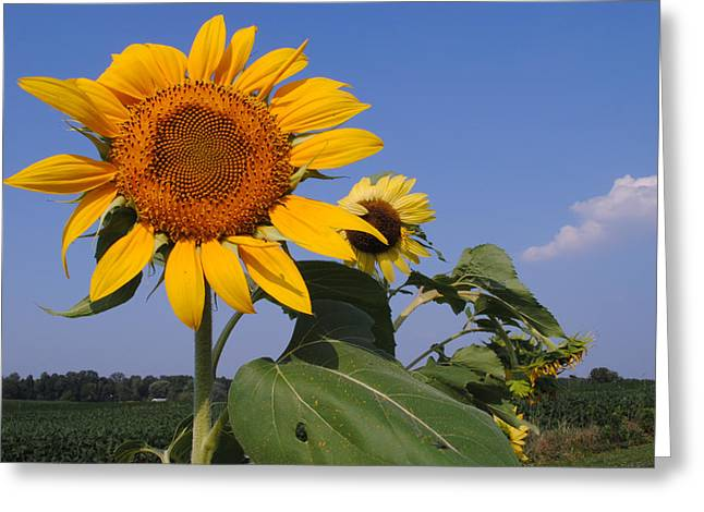 Sunflower Blues Greeting Card by Frozen in Time Fine Art Photography