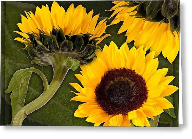 Greeting Card featuring the photograph Sunflower  by Bob Coates