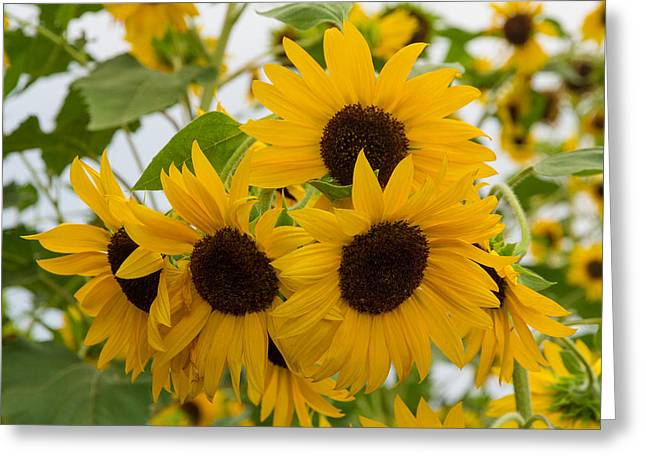 Sunflower Bouquet Greeting Card