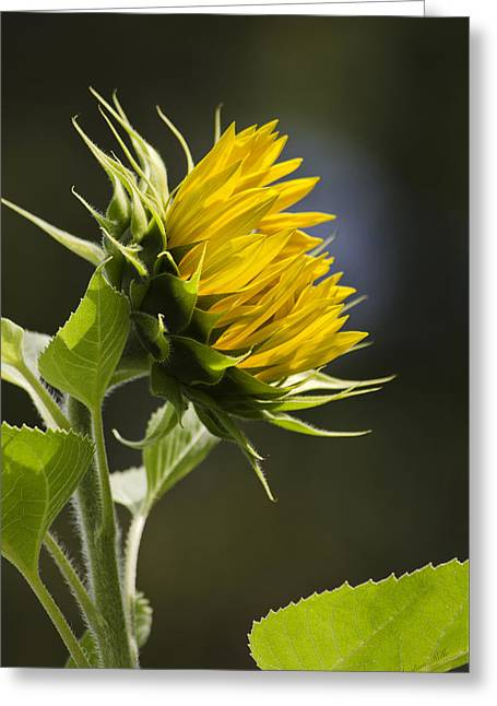 Sunflower Bright Side Greeting Card by Christina Rollo