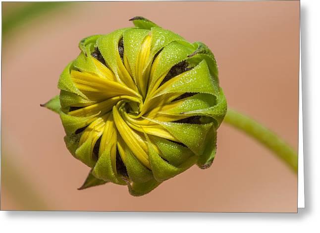 Sunflower Bud Opening Greeting Card