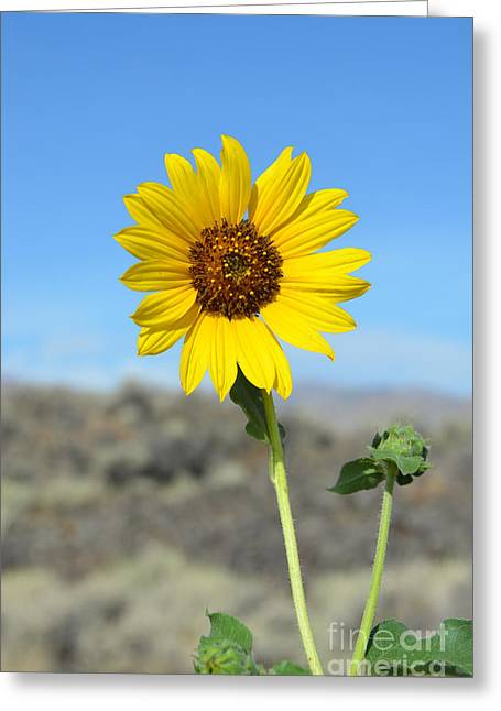 Sunflower By Craters Of The Moon Greeting Card