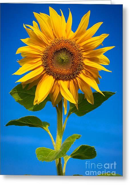 Sunflower Greeting Card by Carsten Reisinger