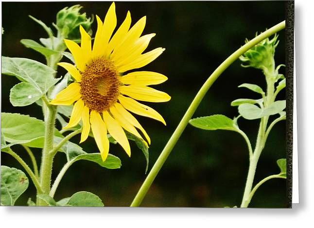 Sunflower Cheer Greeting Card
