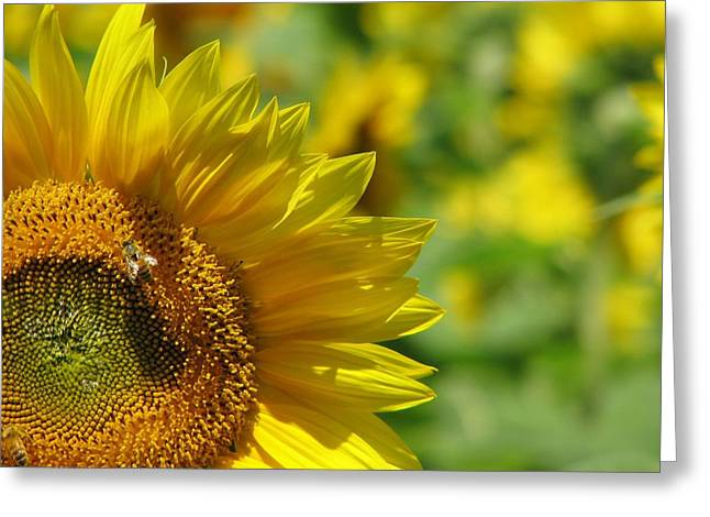 Sunflower Days Greeting Card by Tammie Miller