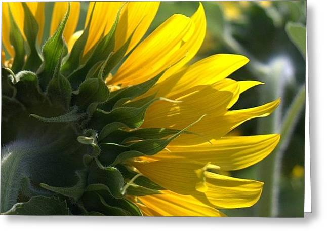 #sunflower #closeup Greeting Card