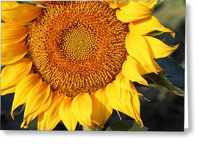 Sunflower - Closeup Greeting Card by Susan Schroeder