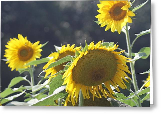 Sunflower Cluster 2 Greeting Card