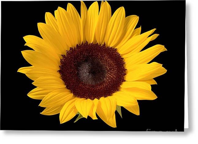 Sunflower  Greeting Card by Danny Smythe