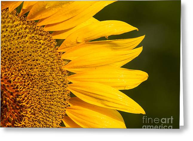 Greeting Card featuring the photograph Sunflower Dew by Dale Nelson