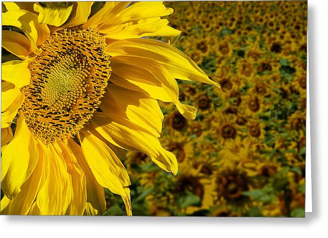 Sunflower Greeting Card by Donald  Erickson
