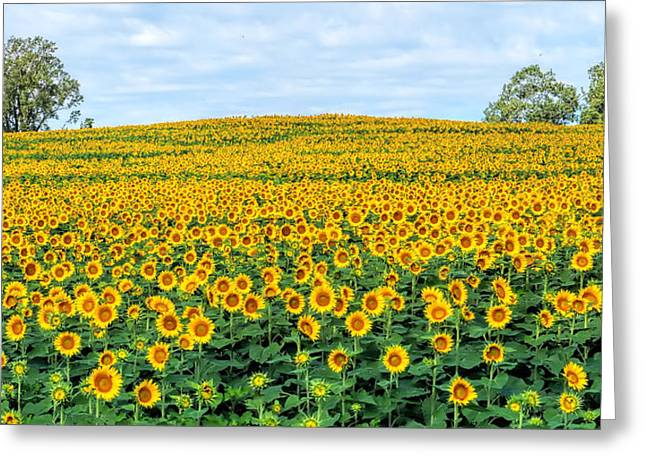 Sunflower Field Greeting Card by Alan Hutchins