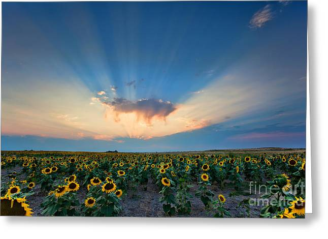 Sunflower Field At Sunset Greeting Card