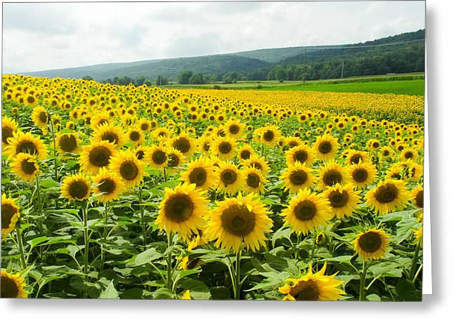 Sunflower Field Greeting Card by Gary Wightman